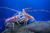 Fighting crayfish - focus is on left — Stock Photo