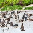 ������, ������: Colony of Cape penguins on beach