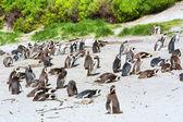 Colony of Cape penguins on beach — Stock Photo