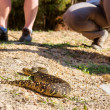 Puff adder (Bitis arietans) lying next to legs — Stock Photo