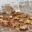 Scrapyard of illegally caught lobsters — Stok Fotoğraf #22982108