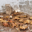 Scrapyard of illegally caught lobsters — Stock Photo