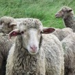 Stock Photo: Drakensberg sheep