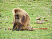 Baboon male sits on grass — Stock Photo