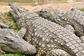 Fat crocodile with friends — Stock Photo