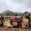 Two resting camels — Stock Photo