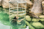 Crocodile cage diving — Stock Photo