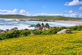 海海滩旁边的黄色花的领域 — 图库照片