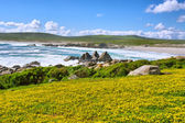 Field of yellow flowers next to sea beach — Stock Photo