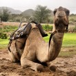 Resting camel — Stock Photo
