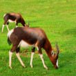 Two grazing antelopes after rain — Stock Photo