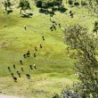 Aerial view at herd of cows in mountains — Stock Photo