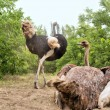 Ostrich couple nests on dusty ground — Stock Photo