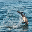 West Coast dolphin dives into water — Stock Photo