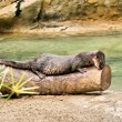 Cute Cape otter rests on trunk - Stock Photo