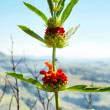 Flowering Dagga plant — Stock Photo