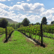 Sunny vineyards — Stock Photo #25295341