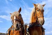 Zwei pferde in der stadt — Stockfoto