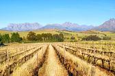 Dağlar karşı kuru üzüm bağları — Stok fotoğraf