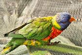 Little lovebird parrot sits on web — Stock Photo