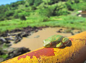 Green tree toad sleeps on rusty tube — Stok fotoğraf