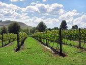 Sunny vineyards — Stock Photo