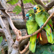 Couple of green parrots — Stock Photo #27291187