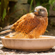 Bathing rock kestrel — 图库照片