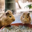 Two cute guinea pigs are having meal — Stock Photo #27291225