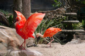 Gorgeous red ibis opens wings — Stock Photo
