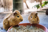 Two cute guinea pigs are having meal — Stock Photo