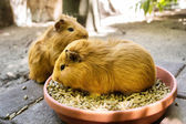 Two guinea pigs during meal — Stock Photo