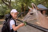 девочка кормит лама — Стоковое фото