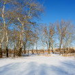 White poplars on winter river shore — Stock Photo