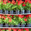 Array of red pot flowers on shelves — Stock Photo