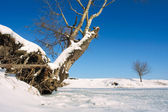 Snag and tree on winter lake shore — Stok fotoğraf