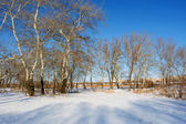 White poplars on winter river shore — Stock fotografie
