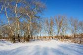 冬の川の岸に白いポプラ — ストック写真