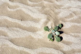 Plantas del desierto de dunas — Foto de Stock