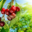Red and sweet cherries on a branch just before harvest in early — Stock Photo