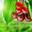 Red and sweet cherries on a branch just before harvest in early — Stock Photo #20143683