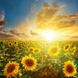 Summer landscape: beauty sunset over sunflowers field — Stock Photo #20146849