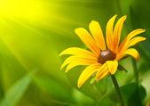 Yellow Coreopsis — Stock Photo
