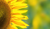 Close-up of sunflower background — Stock Photo