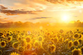Summer landscape: beauty sunset over sunflowers field — Zdjęcie stockowe
