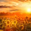 Summer landscape: beauty sunset over sunflowers field — Stock Photo #20157387