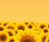 Summer sun over the sunflower field — Stock Photo