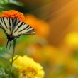 Beautiful Tagetes erecta flower field and butterfly — Stock Photo #51113901