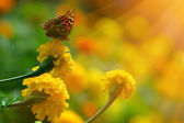 Monarch butterfly on the yellow marigold in highkey  — Foto Stock