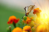 Beautiful Tagetes erecta flower field and butterfly — Stock Photo